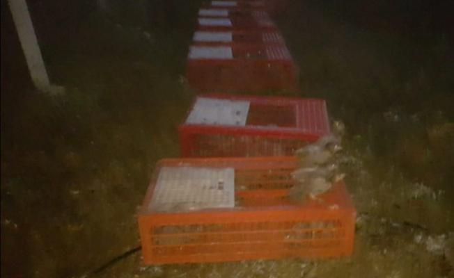 Karacabey'de doğaya bin sülün salındı