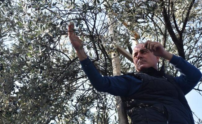 Bursa'da parklarda zeytin seferberliği