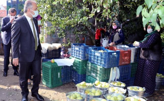 Bursa'nın armut bahçelerinde hasat bereketi