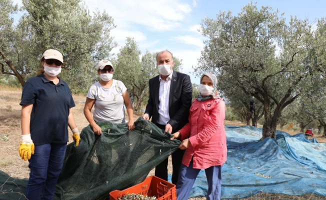 Mudanya'da 'Topraktan halka zeytinyağı' hasadı başladı