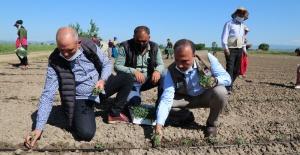 Aygül, Mevsimlik Tarım İşçileriyle Domates Fidesi Dikti