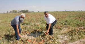 CHP'li Gürer: 70 kuruşa mal edilen domates tarlada 40 kuruş