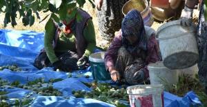 Bursa#039;da ceviz hasadı başladı