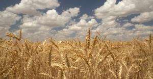 Ülker'den yerli bisküvilik   buğday için yeni proje