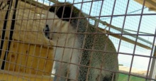 Yasa dışı bulundurulan Rhesus cinsi maymunlar Bursa'da
